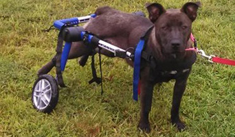 Walkin' Wheels Dog Wheelchair Medium